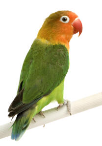 A Peach Faced Parakeet's wonderful colours