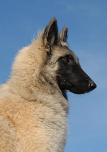A Belgian Tervuren with a beautiful, thick, soft coat