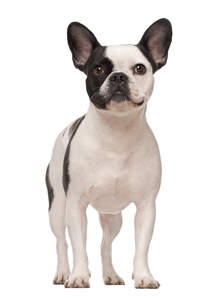 A beautiful young French Bulldog standing tall with it's ears perked