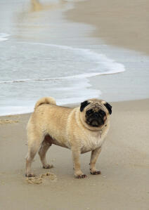 A lovely, little Pug enjoying some exercise on the sand