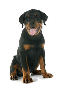 A beautiful Rottweiler puppy showing off its giant paws