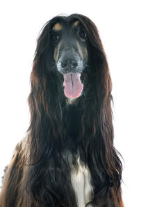 A dark brown Afghan Hound looking forward