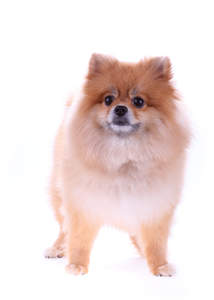 An adult Pomeranian standing tall, showing off its pointed ears