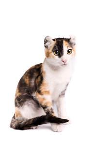 A tricolour american curl cat