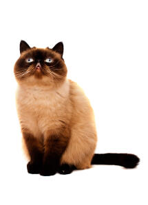 A lovely seal pointed exotic shorthair sitting down