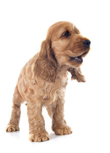 A beautiful little English Cocker Spaniel puppy with a soft brown coat