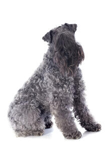 A lovely Kerry Blue Terrier sitting neatly, awaiting some attention