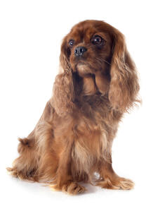 A young Cavalier King Charles Spaniel sitting to attention