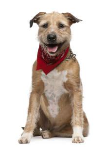 A happy Griffon Fauve De Bretagne with a scarf around his neck