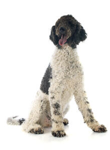 An adult Portuguese Water Dog with a curly coat and giant paws