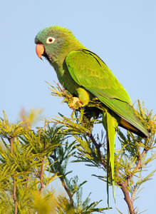 A beautiful Blue Crowned Parakeet perched in a tree