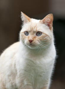 A colourpoint cat with red points