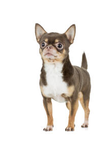A short coated Chihuahua standing tall