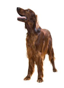 An adult Irish Setter standing strong