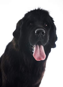 A close up of Newfoundland's floppy ears and great big tongue