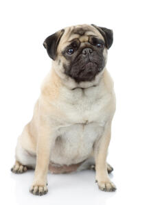 A beautiful adult bitch Pug awaiting a command from her owner