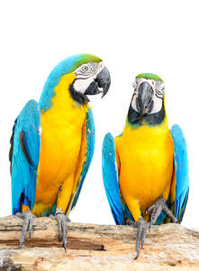 Two beautiful Blue and Yellow Macaws on a perch