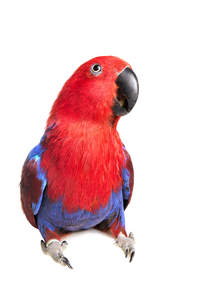 A beautiful Eclectus Parrot with a big, black beak