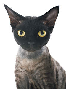 A black faced devon rex with golden eyes