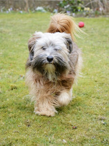 A Tibetan Terrier with a beautiful, bushy tail and wonderful scruffy beard