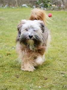 A Tibetan Terrier with a beautiful, bushy tail and wonderful scruffy beard