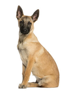 A Belgian Malinois puppy sat to attention