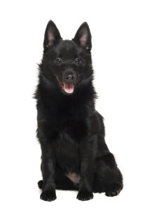 A beautiful black Schipperke with tall pointed ears