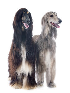 Two beautiful Afghan Hounds sat together