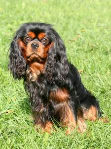 A beautiful, black and brown Cavalier King Charles Spaniel