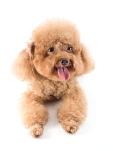 A lovely little Miniature Poodle panting on the floor