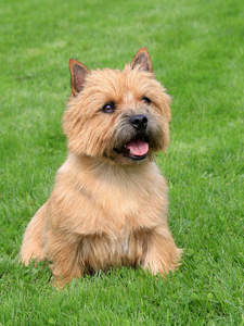 A Norwich Terrier sitting in the grass, waiting for a command