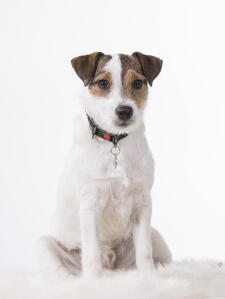 A Parson Russell Terrier sitting beautiful, waiting for a command
