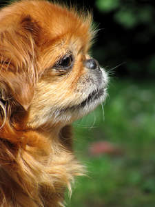 A close up of a Pekingese's beautiful, short nose and and thick, soft coat