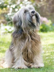 A wonderful little Tibetan Terrier sitting beautifully, waiting for a command from it's owner