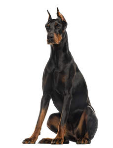 A mature adult Doberman Pinscher sitting very tall