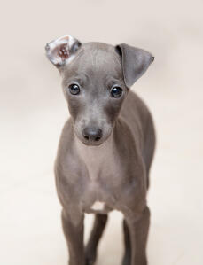 An incredible little Italian Greyhound puppy with one ear folder back