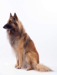 A stunning Belgian Shepherd Dog (Tervueren) sitting down