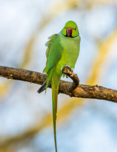 A Rose Ringed Parakeet's wonderul, long tail feathers