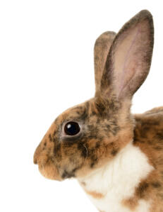 A Mini Rex rabbit with beautiful tall ears