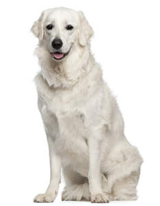 A snow white adult Kuvasz sitting very proud, awaiting a command