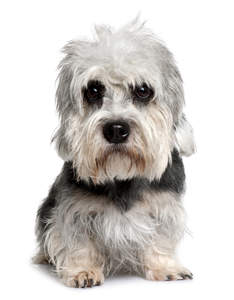 A young Dandie Dinmont Terrier puppy with beautiful beady eyes