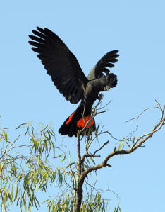 A Red Tailed Black Cockatoo spreading it's amazing red tail feathers