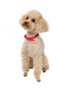 A Toy Poodle with beautiful, big fluffy ears