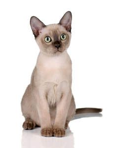 A pretty champagne burmese kitten