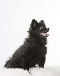 A young black German Spitz (Klein) eager to play