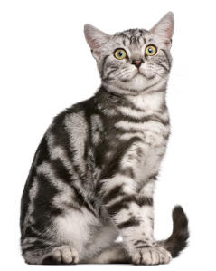 A pretty grey tabby British Shorthair