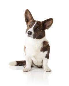 A Cardigan Welsh Corgi showing off it's typically large ears