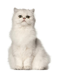 A gorgeous white Persian sitting happily