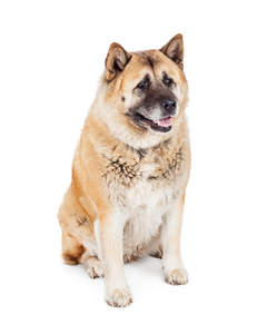 An adult akita with pricked ears and a cute wet nose