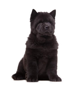 A lovely, young, black Chow Chow with big, pointed ears